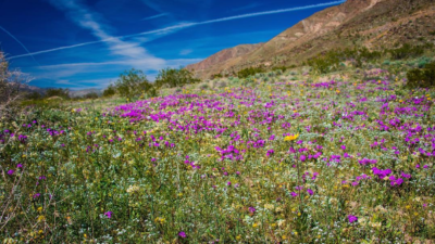 """Super Bloom"" in Cali"